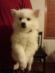 Puppy 2 American Eskimo Dog
