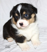 Pembroke Welsh Corgi Puppy For Sale in SOLDIERS GROVE, WI