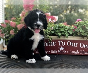 Bernedoodle Puppy for Sale in BRYANT, Iowa USA