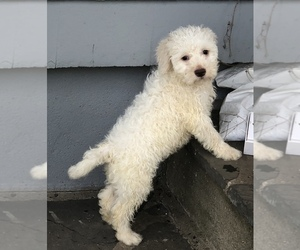 Lagotto Romagnolo Puppy for Sale in SCARSDALE, New York USA