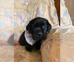 Labrador Retriever Puppy For Sale in STARKSBORO, VT, USA