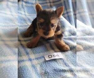 Yorkshire Terrier Puppy for sale in HOPKINSVILLE, KY, USA