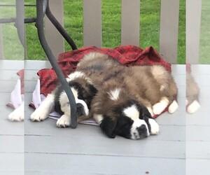 Saint Bernard Puppy for sale in LIVINGSTON MANOR, NY, USA