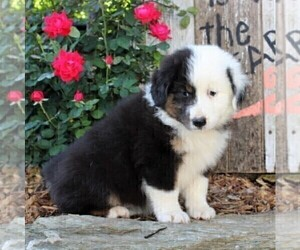 Australian Shepherd Puppy for sale in HOLTWOOD, PA, USA