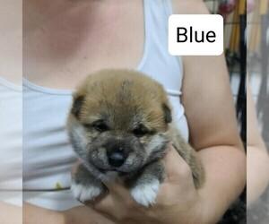 Shiba Inu Puppy for Sale in BERESFORD, South Dakota USA