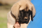 Mastiff Puppy For Sale in OREGON HOUSE, CA