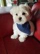 Maltese Puppy For Sale in LORTON, VA, USA