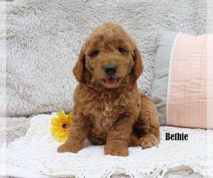 Goldendoodle Puppy for sale in NEW HOLLAND, PA, USA