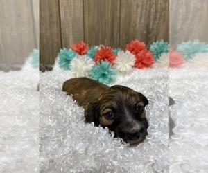 Puppies For Sale Near Batesville Arkansas Usa Page 1 10 Per
