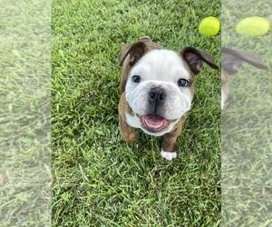 English Bulldog Puppy for sale in DEWITT, VA, USA