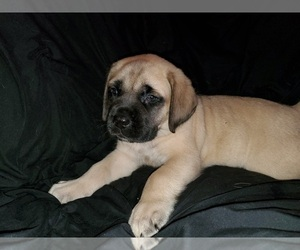 Mastiff Puppy for Sale in INDIANAPOLIS, Indiana USA