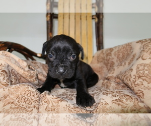 Cane Corso Puppy for sale in COLUMBUS, OH, USA