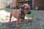Rhodesian Ridgeback Puppy For Sale in HAUGHTON, LA, USA