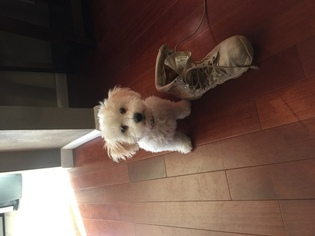 Bichon Frise Puppy For Sale in MARISSA, IL
