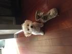 Bichon Frise Puppy For Sale in MARISSA, IL