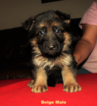 German Shepherd Dog Puppy For Sale in MERCEDES, TX