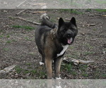 Small Photo #7 Akita Puppy For Sale in LICKING, MO, USA