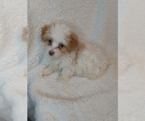 Maltipoo Puppy for sale in INDIANAPOLIS, IN, USA
