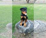 Small #52 Rottweiler