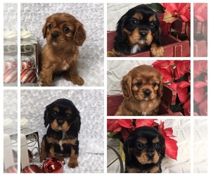 Cavalier King Charles Spaniel Puppy for sale in WATERLOO, NY, USA