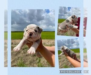 Olde English Bulldogge Puppy for sale in EUNICE, LA, USA