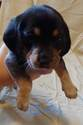 Beagle Puppy For Sale in DOBSON, NC, USA