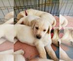 Small #23 Labrador Retriever