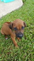 Rhodesian Ridgeback Puppy For Sale in HOUSTON, TX