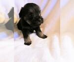 Puppy 6 Schnauzer (Miniature)-Schnauzer (Standard) Mix