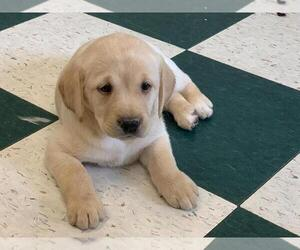 Labrador Retriever Puppy for Sale in WILSONVILLE, Oregon USA
