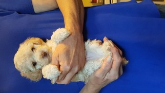 Poodle (Toy) Puppy for sale in ASHEVILLE, NC, USA