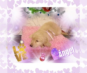 Golden Retriever Puppy for Sale in GASTONIA, North Carolina USA