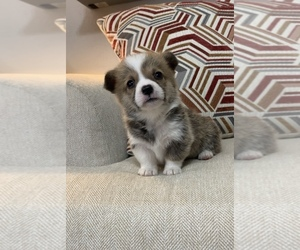 Pembroke Welsh Corgi Puppy for Sale in MIDLOTHIAN, Texas USA