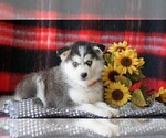 Pomsky Puppy For Sale Female Roxie