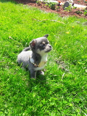Chihuahua Puppy For Sale in MINNEAPOLIS, MN
