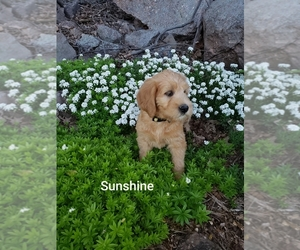 Labradoodle Puppy for sale in NARVON, PA, USA
