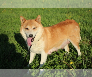 Shiba Inu Puppy for sale in PEMBROKE, KY, USA