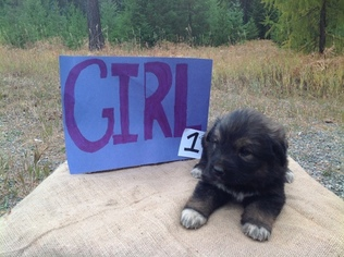 Great Pyrenees-Newfoundland Mix Puppy For Sale in BONNERS FERRY, ID