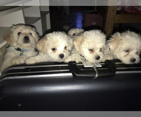 Medium Photo #1 Bichon Frise Puppy For Sale in CHICAGO, IL, USA