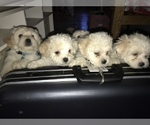 Bichon Frise Puppy For Sale in CHICAGO, IL, USA