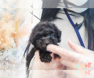 Poodle (Toy) Puppy for Sale in RENO, Nevada USA