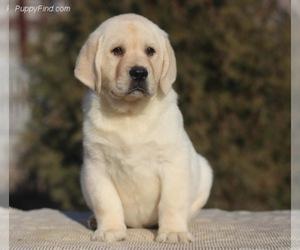 Labrador Retriever Puppy for sale in Kryvyi Rih, Dnipro, Ukraine