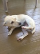 Chihuahua-Unknown Mix Puppy For Sale in LEOMINSTER, MA, USA