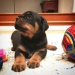 Rottweiler Puppy For Sale in WALNUT CREEK, CA, USA