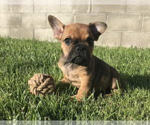 French Bulldog Puppy for sale in LA TIJERA, CA, USA
