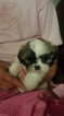 Shih Tzu puppies available June 7th