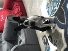 Boston Terrier Puppy For Sale in COPPELL, Texas,