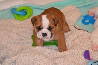 Bulldog Puppy For Sale in CHINO HILLS, CA, USA