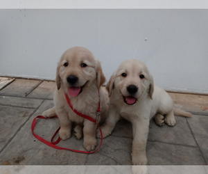 Golden Retriever Puppy for sale in ANAHEIM, CA, USA