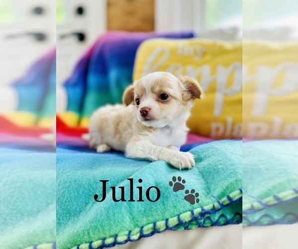 Medium Photo #3 Chihuahua Puppy For Sale in COOKEVILLE, TN, USA
